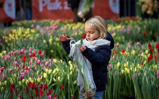 42017_fullimage_small kid picks a tulip in amsterdam_560x350